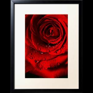 red rose par jules klay1 Découvrez la sélection des photographes mabellephoto de mars
