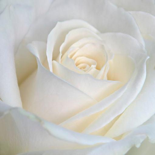 La rose thé par Marie-Claude Strausz